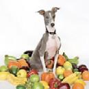 Pochette Excellent Italian Greyhound